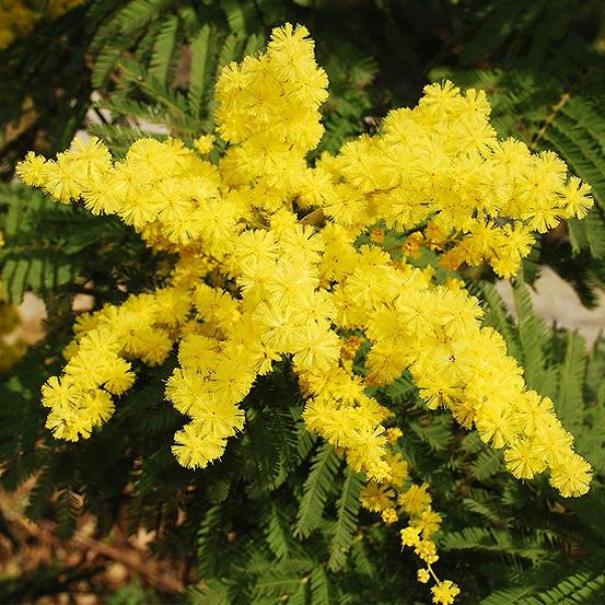 Mimosa Acacia Tree Look Again